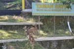 Aktivitas rusa timor di dalam kandang satwa di objek wisata Waduk Gajah Mungkur (WGM), Minggu (29/6/2014) siang. Binatang rusa timor menambah koleksi satwa yang dimiliki WGM. (JIBI/Solopos/Bony Eko Wicaksono)