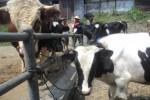 Beberapa sapi ditawarkan para penjual di Pasar Hewan Sunggingan, Boyolali, Kamis (21/8/2014). (Septhia Ryanthie/JIBI/Solopos)