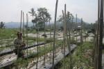 Petani cabai di Kecamatan Matesih, Prapto Sukatno, 45, menyiangi gulma di lahan cabai miliknya, Minggu (25/8/2014). (Mariyana Ricky P.D./JIBI/Solopos)