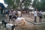 Mendekati Iduladha peternak dan warga mulai menjual sapi dan kambing untuk kurban di Pasar Hewan Pengasih, Jumat (19/9/2014). (JIBI/Harian Jogja/Holy Kartika N.S)