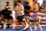 Seorang pemilik anjing jenis Siberian husky berlari-lari bersama hwan peliharaannya itu di sela-sela pelaksanaan CAC International Dog Show 2014 di Airlangga Convention Centre (ACC), Surabaya, Jawa Timur, Sabtu (20/9/2014). Kontes anjing bertaraf internasional yang berlangsung hingga Minggu (21/9/2014) itu diikuti puluhan anjng trah itu. Selain berkompetisi, kontes anjing itu juga bertujuan untuk menjalin silaturahmi di antara para penggemar anjing peranakan ataupun lokal. (JIBI/Solopos/Antara/M Risyal Hidayat)