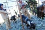 Petugas Dinas Peternakan Provinsi Jawa Tengah meninjau kondisi kambing di lapak hewan kurban kawasan Badran, Manahan, Solo, Jawa Tengah, Senin (29/9/2014). Peninjauan tersebut untuk memantau kondisi kesehatan hewan ternak yang dijual sebagai hewan kurban dalam rangka Iduladha 2014. Menurut pedagang, kambing-kabing itu mereka jual dengan harga mulai Rp1.500.000/ekor. (Ardiansyah Indra Kumala/JIBI/Solopos)