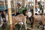 Sejumlah pedagang kambing berbincang di kios darurat Pasar Hewan Semanggi, Pasar Kliwon, Solo, Jawa Tengah, Kamis (4/9/2014). Menurut sejumlah pedagang di pasar hewan itu, harga kambing menjelang Iduladha 2014 ini masih stabil pada kisaran Rp1 juta-Rp2,5 juta per ekor. (Ardiansyah Indra Kumala/JIBI/Solopos)