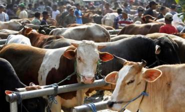 Aktivitas jual-beli di Pasar Hewan Ternak Bekonang, Mojolaban, Sukoharjo, Senin (8/9/2014). Menurut sejumlah pedagang sapi di pasar itu, harga sapi sebulan menjelang Iduladha 2014 mengalami kenaikan harga mencapai Rp500.000 per ekor. (Ardiansyah Indra Kumala/JIBI/Solopos)