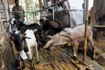 Pedagang kambing kurban, Sapto Kuncoro, 41, mengecek kondisi hewan ternak dagangannya yang ditunjukkannya di depan rumahnya, Bumi, Laweyan, Solo, Jawa Tengah, Rabu (17/9/2014). Menurut pedagang kambing musiman tersebut, ia mulai menyediakan stok kambing kurban sejak 10 hari lalu. Kambing yang berjumlah 23 ekor tersebut dijual mulai Rp1,5 juta hingga Rp5 juta per ekor. (Ardiansyah Indra Kumala/JIBI/Solopos)