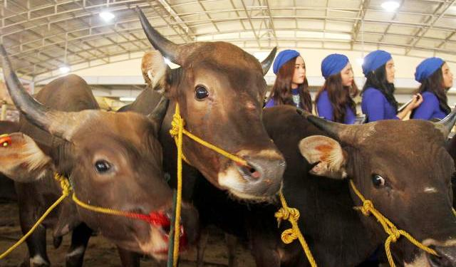 Sejumlah sales promotion girl (SPG) mendata sapi di Mall Hewan Kurban H. Doni, Kelapa Dua, Depok, Jawa Barat, Senin (15/9/2014). Strategi penjualan hewan kurban dengan menggerakkan SPG berbusana khas jazirah Arab itu dilakukan sang pemilik mal hewan kurban demi menarik minat pembeli. Ditaksir, 8.000 hewan kurban meramaikan bursa hewan ternak menjelang Iduladha 2014 ini. (Nurul Hidayat/JIBI/Bisnis)