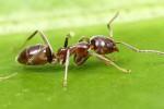 Ilustrasi semut (news.stanford.edu)
