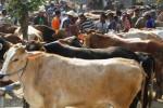 KELANGKAAN DAGING SAPI : Karanganyar Klaim Populasi Sapi Cukup untuk 10 Tahun