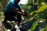 Salah seorang petani melon asal Karangmalang, Sragen, menunjukkan buah melonnya yang siap panen. Hasil pertanian jenis holtikultura ini menjadi salah satu andalan Kabupaten Sragen selain padi organiknya. Foto diambil beberapa waktu lalu. (Ika Yuniati/JIBI/Solopos)