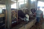 Peternak sapi di Desa Brajan, Kecamatan Mojosongo, Boyolali, Purnomo, 37, memberi makan sapi milikny, Sabtu (27/9/2014). Harga sapi rata-rata di Kota Susu saat ini naik mencapai Rp4 juata per ekor menjelang Idul Adha. (Irawan SA/JIBI/Solopos)