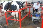 Seorang pekerja sedang memerah susu sapi di peternakan sapi perah di Desa Krajan, Jatinom, Senin (22/9/2014). Produksi susu sapi di kecamatan setempat merosot hingga 30% pada musim kemarau tahun ini. (Chrisna Canis Cara/JIBI/Solopos)
