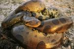 Ilustrasi anaconda (nationalgeographic,com)