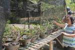 Warga RT 002/RW 013 Dusun Kedungdowo, Desa Plosorejo, Kecamatan Matesih, Sugi, 50, menunjukkan sejumlah bibit anggrek yang mati akibat cuaca panas, Jumat (12/9/2014). (Mariyana Ricky P.D./JIBI/Solopos)