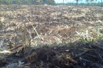 Inilah lahan pertanian bekas menanam tebu yang telah dibakar petani. (Irawan Sapto Adhi/JIBI/Solopos)