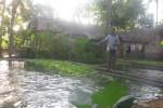 Salah satu peternak ikan di Dusun Kergan, Tirtomulyo, Kretek Bantul menebar pakan ikan gurami, Jumat (26/9/2014). (JIBI/Harian Jogja/Bhekti Suryani)