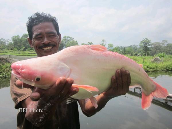 Slamet menunjukkan ikan patin bule seberat lima kilogram hasil budidayanya di kolam Ledokperi, Dusun Tanjungtirto, Desa Kalitirto, Kecamatan Berbah, Selasa (28/10/2014). (JIBI/Harian Jogja/Sunartono)