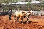 Petani membajak ladang menggunakan tenaga sapi. (JIBI/Harian Jogja/David Kurniawan)