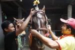 Seekor kuda yang bernama Srikandi dipasangi berbagai hiasan ketika akan dikirim ke Jakarta di Jajar, Laweyan, Solo, Jumat (17/10/2014). Kuda keturunan kuda Australia tersebut rencananya akan menarik kereta kencana Jokowi-Jusuf Kalla dalam rangkaian peraaan pelantikan presiden dan wakil presiden di Jakarta pada Senin (20/10/2014). (Septian Ade Mahendra/JIBI/Solopos)