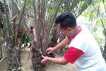 Salah satu petani sedang memanen Salak Pondoh Menoreh di salah satu kebun salak di Dusun Sabrang Kidul Desa Purwosari, Girimulyo Kulonprogo, Kamis (9/10/2014). (JIBI/Harian Jogja/Holy Kartika N.S)