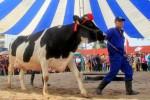 Seekor sapi dihiasi dengan mahkota setelah menjuarai kontes tahunan Miss Milk Cow di dataran tinggi Moc Chau, 200 km barat laut Hanoi, Vietnam, Rabu (15/10/2014) waktu setempat. Kantor Berita Reuters, Jumat (17/10/2014), menyebut kontes sapi itu digelar untuk memilih sapi-sapi terbaik berdasarkan tulang dan kaki kuat serta mampu menghasilkan susu terbanyak. (JIBI/Solopos/Reuters/Kham)