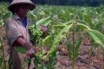 Sudarmanto, petani tembakau Dusun Seropan III, Muntuk, Dlingo, Bantul memanen daun tembakau untuk menghindari kerugian besar menjelang musim penghujan datang, Senin (20/10/2014). (JIBI/Harian Jogja/Endro Guntoro)