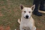 Bo, anjing campuran pit bull dan husky (CNN)