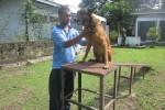 Bronie, anjing jenis malinois menjalani latihan di markas Satwan Anjing, Lanud Adisutjipto pekan lalu. (JIBI/Harian Jogja/Sunartono)