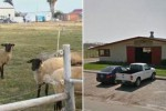 Seorang mahasiswa Kalifornia bercinta dengan domba di gudang kampus (Mirror)
