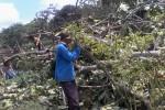 Beberapa warga Dusun Sempu, Pakembinangun, Pakem berusaha memangkas pohon yang jatuh ke lahan tanaman cabai akibat angin kencang. (Rima Sekarani I.N/JIBI/Harian Jogja)