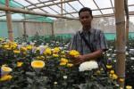 Tanman bunga krisan di Samigaluh Kulonprogo. (Switzy Sabandar/JIBI/Harian Jogja)