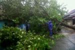 Pohon waru di samping Mapolsek Jogonalan Klaten, Rabu (12/11/2014) sore, tumbang akibat angin kencang. (Chrisna Canis Cara/JIBI/Solopos)