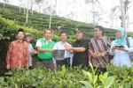 Bupati Kulonprogo dan sejumlah tamu yang hadir dalam peluncuran Teh Wangi Suroloyo melakukan wur-wur di perkebunan teh di Dusun Triti, Desa Ngargosari, Kulonprogo, Senin (15/12/2014). (Foto dokumen)