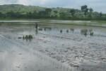 Buruh tani di Desa Wiro, Bayat menyebar bibit padi di salah satu lahan pertanian di desa setempat, Sabtu (20/12/2014). Sejumlah petani di desa tersebut menanam ulang padi di lahan pertanian mereka lantaran padi yang sebelumnya ditanam terendam air luapan Sungai Kuning dan Sungai Dengkeng. (Taufiq Sidik/JIBI/Solopos)