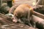 Video unik monyet selamatkan temannya yang tersengat listrik (youtube)