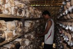 Ikang Yulianto tengah memperlihatkan sisa-sisa jamur tiram yang diserang nyamuk, Selasa (16/12/2014). (JIBI/Harian Jogja/Kusnul Isti Qomah)