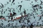 Ilustrasi Burung-Burung Beterbangan di Sekitar Pesawat (Dailymail.co.uk)