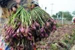 Ilustrasi bawang merah (Juli Nugroho/JIBI/Bisnis)