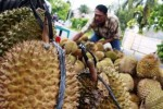 Ilustrasi durian medan (JIBI/Solopos/Antara/Septianda Perdana)