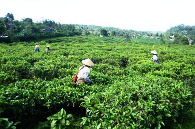 Kebun Teh Kemuning, Ngargoyoso, Karanganyar (Sunaryo HB/JIBI/Solopos)