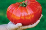 Tomat terbesar di dunia yang dipanen petani Inggris (Dailymail)
