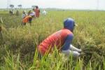 Petani memanen padi di salah satu petak sawah di Majasto, Tawangsari, Sukoharjo, Kamis (29/1/2015). Agenda panen padi bersama Presiden Joko Widodo di Majasto akhirnya dibatalkan dan dipindahkan ke Sonorejo. (Rudi Hartono/JIBI/Solopos)