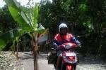 Tanaman pisang yang ditanam warga di ruas jalan yang rusak parah di Dusun Klepu, Desa Siodarjo, Kecamatan Tepus, Sabtu (24/1/2015). (JIBI/Harian Jogja/Kusnul Isti Qomah)
