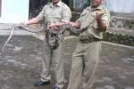 Kepala Desa Purwodadi, Kecamatan Tepus Sucipto (kiri) dan Staf Desa Purwodadi Sulistyo (kanan) sedang memegang ular hasil tangkapannya. (JIBI/Harian Jogja/dok. Sucipto)