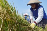 Petani Teguhan, Paron, Ngawi menuai padi, Rabu (25/2/2015). (JIBI/Solopos/Antara/Siswowidodo)