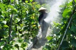 FOTO MELON MADIUN : Lalat Buah Ancam Petani Melon Madiun