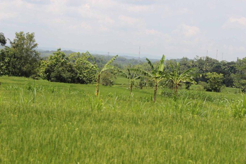 Persawahan di Desa Nglegi, Kecamatan Patuk, Selasa (10/2/2015). (JIBI/Harian Jogja/Kusnul Isti Qomah)
