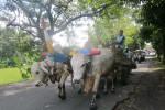 Gerobak sapi sebagai angkutan di Sleman (JIBI/Harian Jogja/Sunartono)