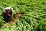 Petani benahi padi roboh akibat angin di Pamekasan, Selasa (3/3/2015). (JIBI/Solopos/Antara/Saiful Bahri)