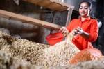 Pembuatan tempe Malang dengan kedelai impor, Selasa (10/3/2015). (JIBI/Solopos/Antara/Ari Bowo Sucipto)