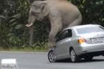 Gajah menginjak mobil hingga penyok (Mirror.co.uk)